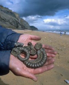 Fossils collected on the beach at Charmouth