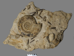 Ammonite, Bridport Museum