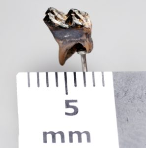 Mammal tooth, Dorset County Museum