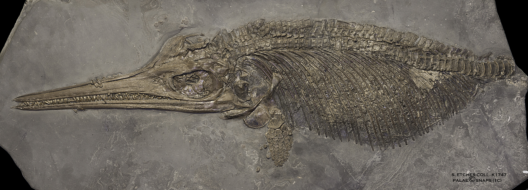The Etches Collection - Museum of Jurassic Marine Life, Ichthyosaur