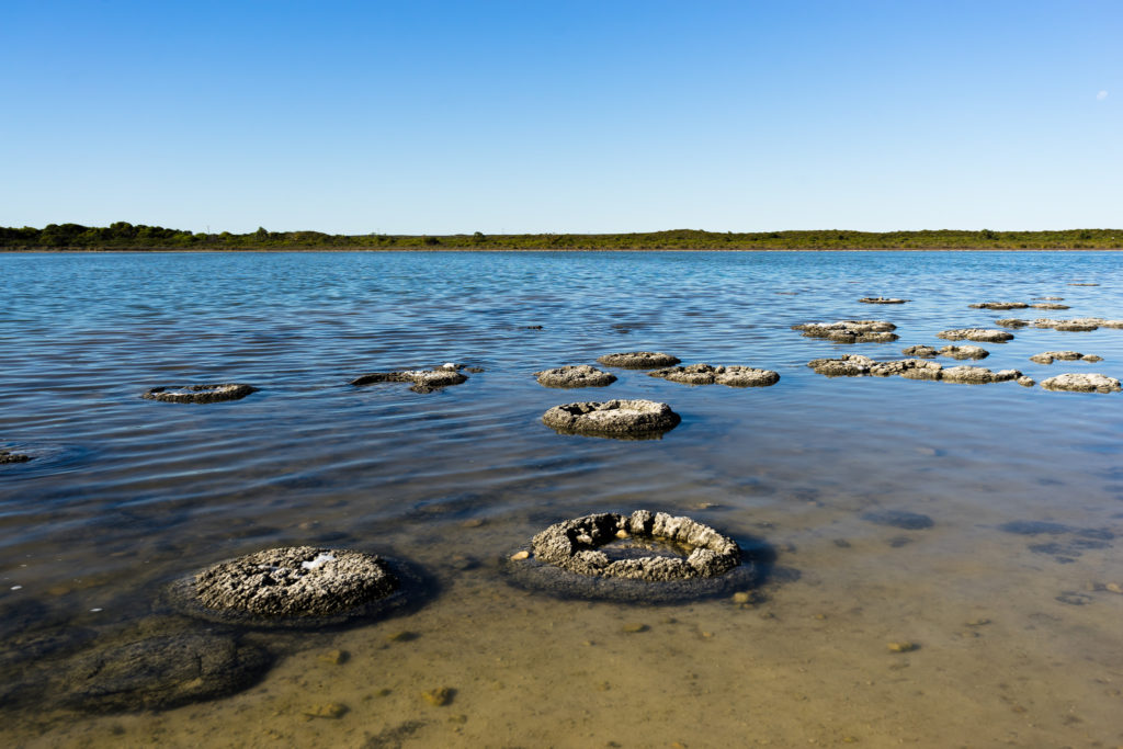 How do you identify a fossil? So how did the Fossil Forest on Portland form? You need to think like a scientist! Stromatolites forming in Lake Thetis, Australia. These formations are the similar to the features that can be seen at the Fossil Forest in King Barrow Quarry on Portland.