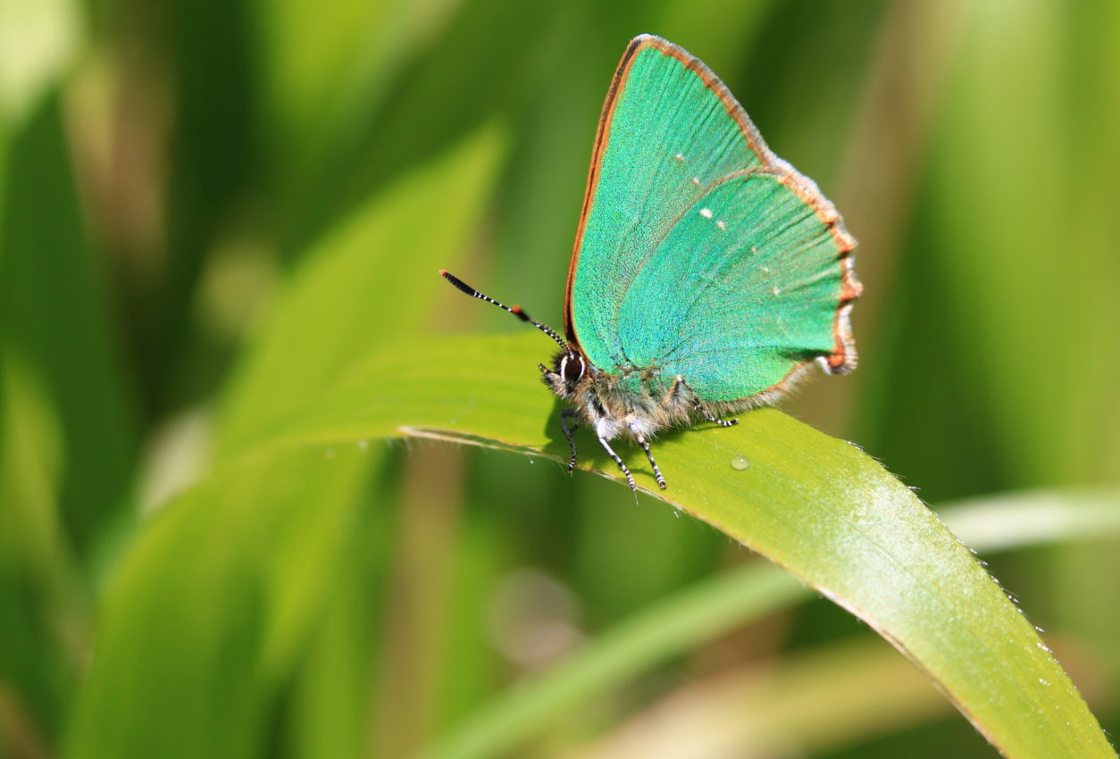 Join Butterfly Conservation's expert guides to discover green hairstreak and dingy skipper butterflies and much more on these free countryside walks.