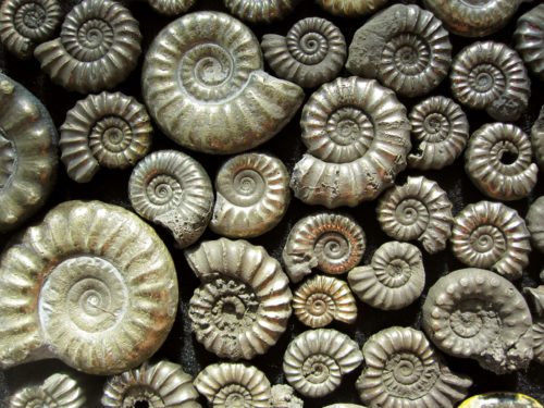 fossils of the jurassic coast charmouth ammonites