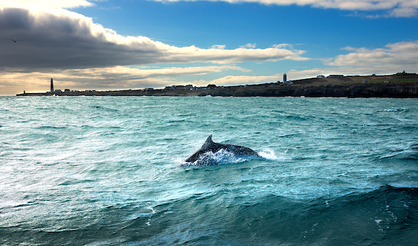 Bottlenose dolphin and three lighthouses, Portland Bill