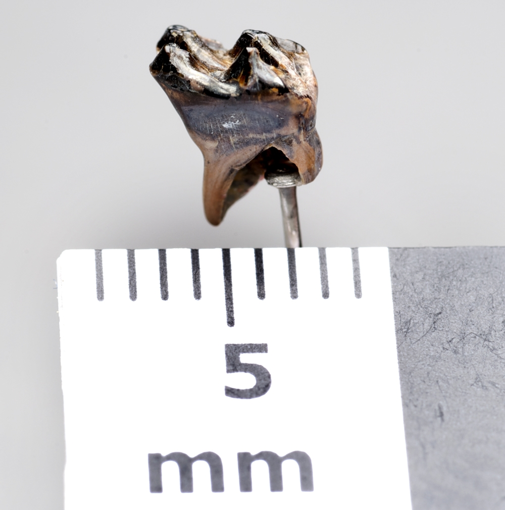 Stereognathus tooth (mammal-like creature)