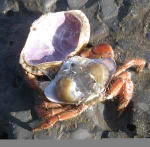 Cast of an edible crab shell. If you find a 'dead' crab shell on the shore, pinch it between the eyes and if the top pops open, then it is actually a shed shell!