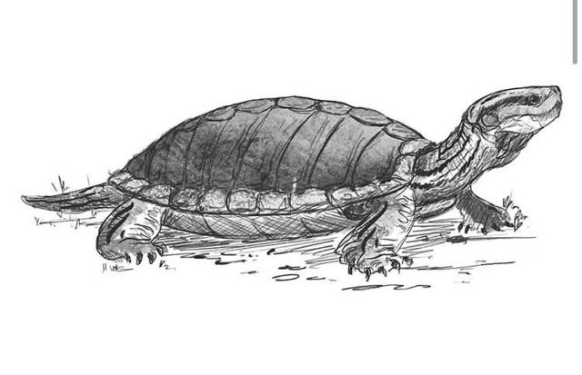 Turtles inhabited the rivers and lagoons of the Cretaceous period whilst dinosaurs roamed the land.  The ancestors of modern turtles, these creatures have changed very little over millions of years.  They were protected from predators by a hard shell called a carapace that covered their soft bodies.  Scientists struggle to identify turtles from the fossil record because the skull is often missing!  To vote please see the link in our bio. This gives you a chance to win a stunning fossilised Jurassic seabed.  Art by Mark Witton.  #turtle #fossil #fossils #geology #palaeontology #jurassic #jurassiccoast #science #paleontology #palentology #turtlesofinstagram #bigfivefossils
